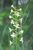 IMG_6225_Greater_Butterfly_Orchid