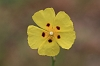 IMG_6324_Spotted_Rock_Rose