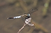 IMG_0770_White-tailed_Skimmer