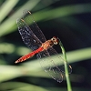 IMG_1768_Spotted_Darter