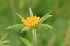 Common Fleabane _MG_1786