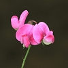 Everlasting Pea _MG_1659