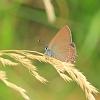 False Ilex Hairstreak _MG_1813