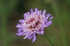 Field Scabious _MG_1787