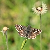 Grizzled Skipper _MG_1334