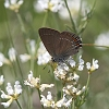 IMG_0855 Ilex Hairstreak