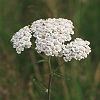 Yarrow _MG_2527