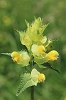 Yellow Rattle _MG_1600