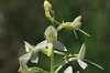 _MG_1992 Lesser Butterfly Orchid