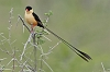 J17_0779 Shaft-tailed Whydah
