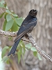 J17_0901 Forktailed Drongo