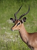 _17C1524 Black-faced Impala
