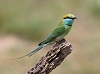 J18_3185 Green Bee-eater