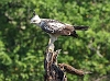 J18_4394-Changeable-Hawk-eagle