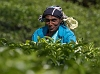 Tea-Picker-unposed-4267