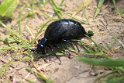 IMG_4853_Oil_Beetle