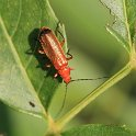 IMG_6758_Common_Red_Soldier_Beetle