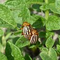 P1010132_Colorado_Beetle