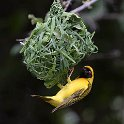 Southern Masked Weaver-1055