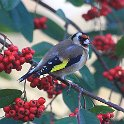 IMG_2201 Goldfinch