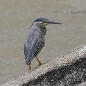 J01_1300 Striated Heron
