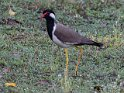 Red-wattled Lapwing-9085
