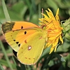 Clouded_Yellow_01