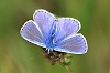 Common_Blue_male