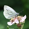 Green-veined_White