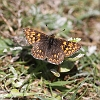 IMG_0121 Duke of Burgundy