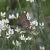 IMG_0853 Ilex Hairstreak