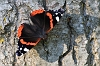 IMG_5907_Red_Admiral