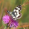 IMG_6019_Marbled_White