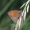 IMG_6052_Meadow_Brown