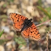 IMG_6124_Spotted_Fritillary