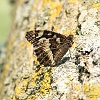 IMG_6943_Great_Banded_Grayling