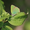 IMG_9074_Green_Hairstreak