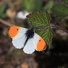 IMG_9141_Orange_Tip_male