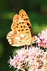 Queen_of_Spain_Fritillary_01