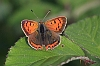 Small_Copper