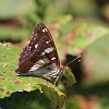 Southern_White_Admiral_2