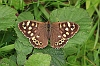 Speckled_Wood_01