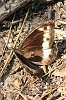 Woodland_Grayling_01