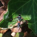 012_Red-tipped_Clearwing_IMG_9738
