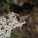 054_Latticed_Heath_IMG_1852
