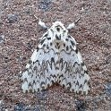088 Black Arches female