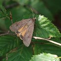 102_Large_Yellow_Underwing_IMG_2641