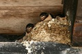 Baby swallows in their nest