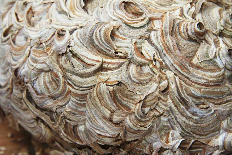 Wasp Nest Anatomy John Amp Carol Curd