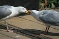 SeagullBarney2